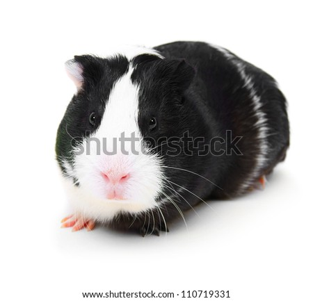 guinea pig on a white background. - stock photo