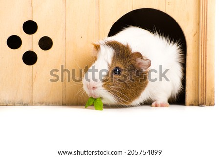 Guinea Pig on seamless white background - stock photo