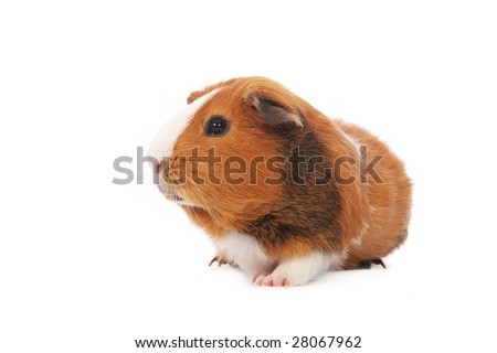 Guinea pig on white background - stock photo
