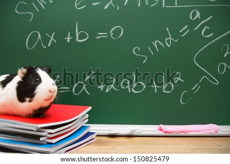 Guinea pig on writing-books. Against a school board with mathematical formulas. - stock photo