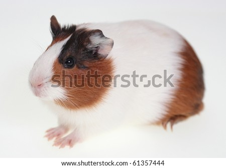 Guinea pig over white 2