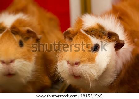 Guinea pig reflection - stock photo