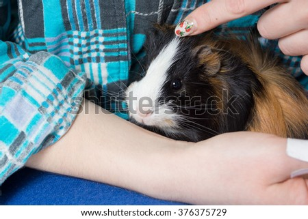 guinea pig sits on hands