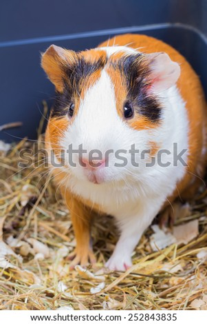 Guinea pig sitting in a cage with hay and sawdust - stock photo