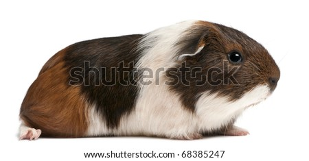 Guinea pig sitting in front of white background - stock photo