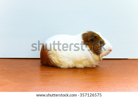 Guinea pig sitting on the wood desk. - stock photo