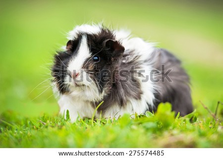 Guinea pig sitting outdoors in summer  - stock photo