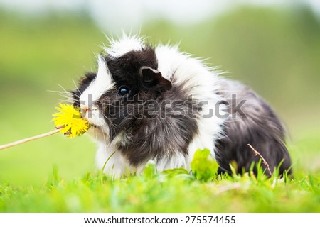 Guinea pig sniffing a dandelion  - stock photo