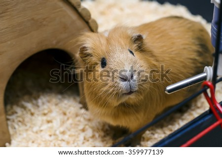 Guinea pig stand next to wooden house - stock photo