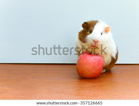 Guinea pig stepped on the apples and sitting on the desk, a popular household pet. - stock photo