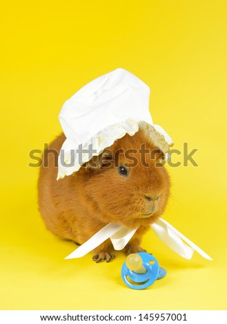 guinea pig (US-Teddy) with baby bonnet, comforter - stock photo