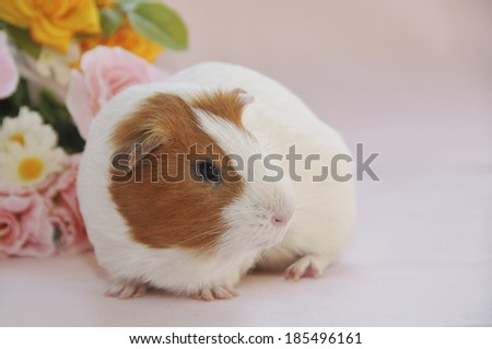 Guinea pig with bouquet of flowers on pink background