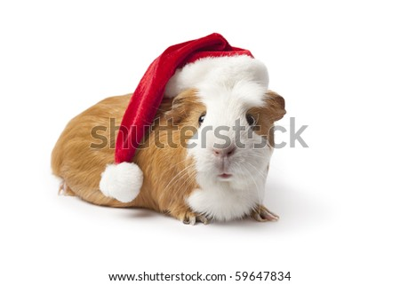 Guinea Pig with Christmas hat on white background - stock photo