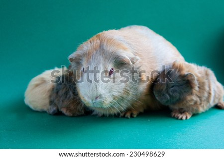 Guinea pig with her kids - stock photo