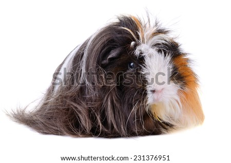 Guinea pig with long hair sitting on a white background
