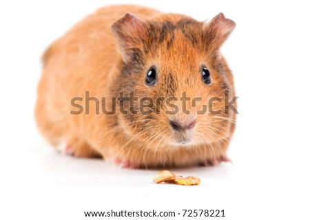 guinea pig with seeds isolated on white background