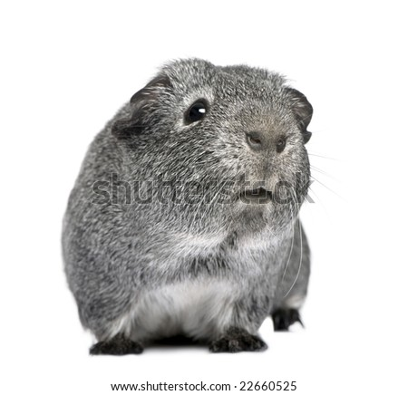 guinea pig (3 years) in front of a white background