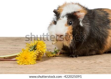 Guinea pigs eating - stock photo