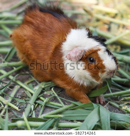Guinea pigs eating grass in the garden