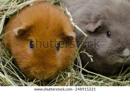 guinea pigs huddle in hay - stock photo