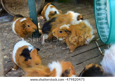 Guinea pigs in a botanical garden in Okinawa, Japan