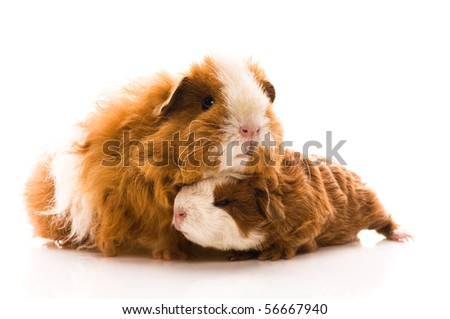 guinea pigs on the white - stock photo