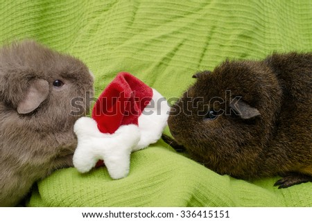 guinea pigs play with christmas hat - stock photo