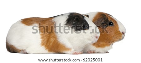 Guinea pigs, 3 years old, lying in front of white background - stock photo