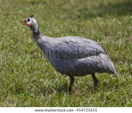 Guinea that is walking from the camera on some grass - stock photo