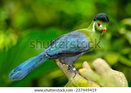 Guinea Turaco also known as Green Turaco (Tauraco persa), selective focus.