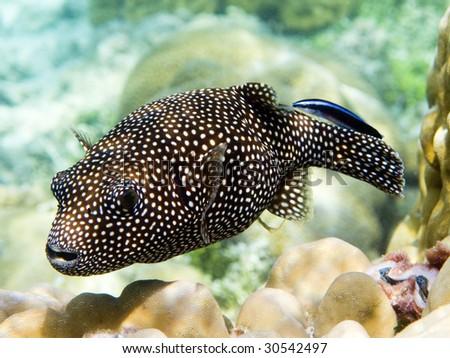 Guineafowl puffer fish - stock photo