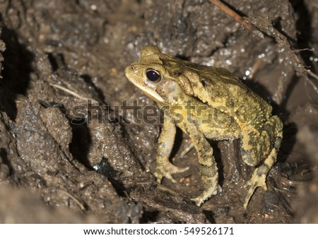 Gulf coast toad (Incilius valliceps) in a swampy rainforest at night, Belize, Central America