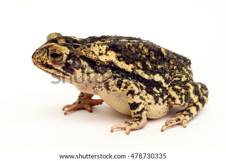 Gulf coast toad side crouched