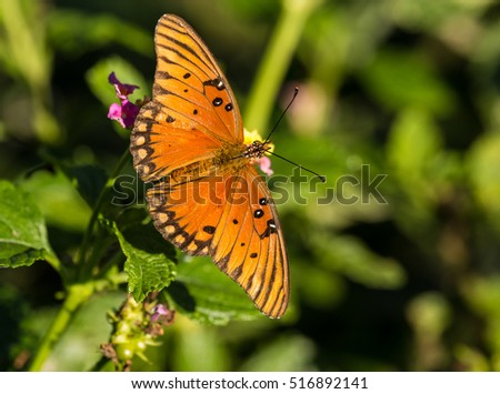 Gulf Fritillary (Agraulis vanillae) feeding on lantana plant during fall migration through Central Texas Hill Country.