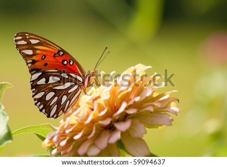 Gulf Fritillary Butterfly feeding on a light Zinnia flower - stock photo