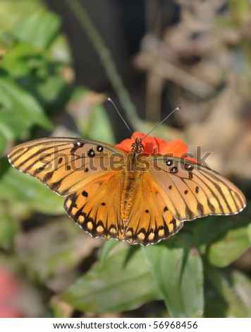 Gulf Fritillary butterfly feeding on orange Zinnia