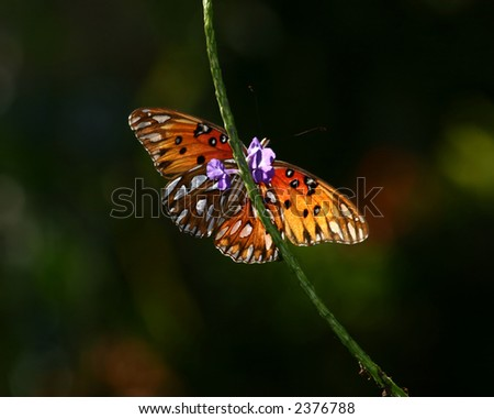 Gulf Fritillary Butterfly on flower stem