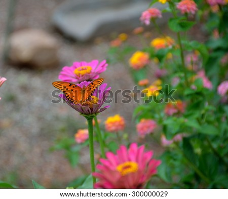 Gulf Fritillary butterfly on top of vibrant colored Aster flower. - stock photo