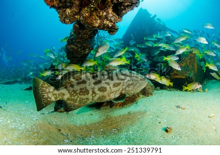 Gulf grouper, Cabo pulmo national park. - stock photo