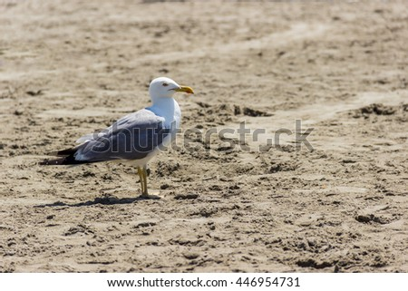 Gull (Chroicocephalus novaehollandiae) on the beach of Grande Motte,France.
