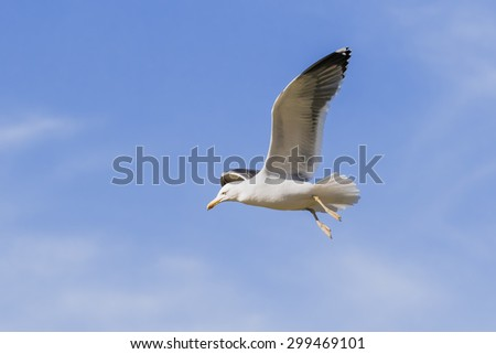 Gull flying by through  blue skies. An impressive lesser black-backed gull dangles its legs as it passes the camera.
