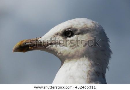 Gull Head Close Up - stock photo