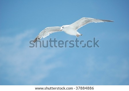 Gull in the air