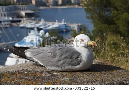 Gull near the harbor, the marina of Monte Carlo, Monaco - stock photo
