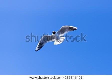 Gull soaring in blue sky - stock photo