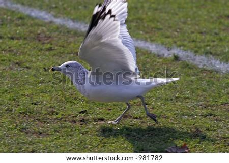 Gull Taking Flight - stock photo
