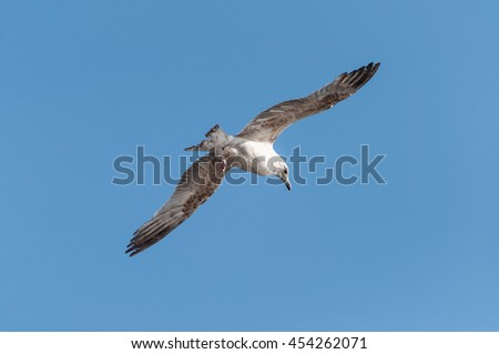 Gull that glides in the sky whit one leg
