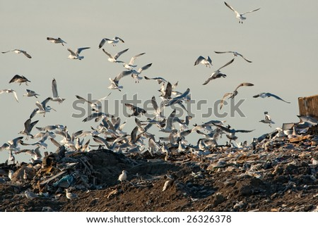 Gulls at the landfill