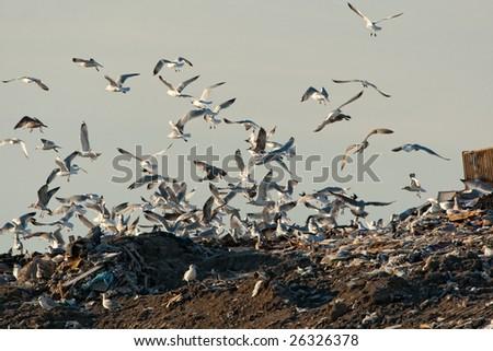 Gulls at the landfill - stock photo