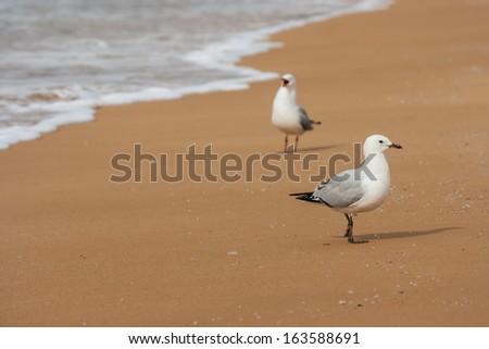 gulls courting on beach - stock photo